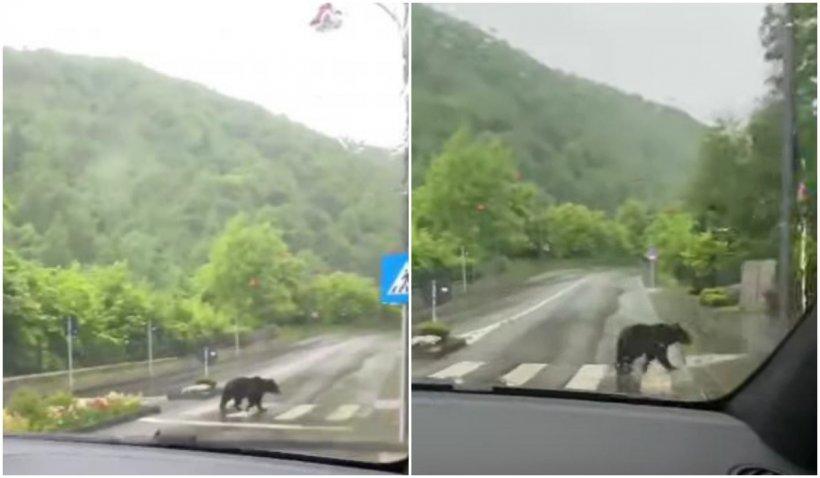 Urs, surprins când traversează pe o trecerea de pietoni din Sinaia