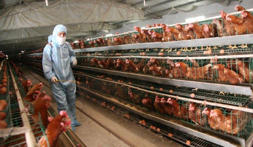 Țara unde cei vaccinați primesc găini gratis