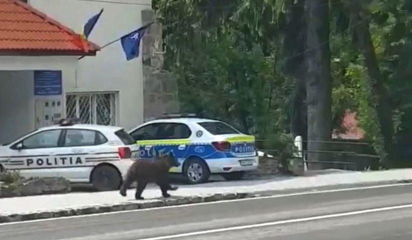 """Urs filmat în faţa Poliţiei din Băile Tuşnad: """"A venit să depună reclamaţie"""""""
