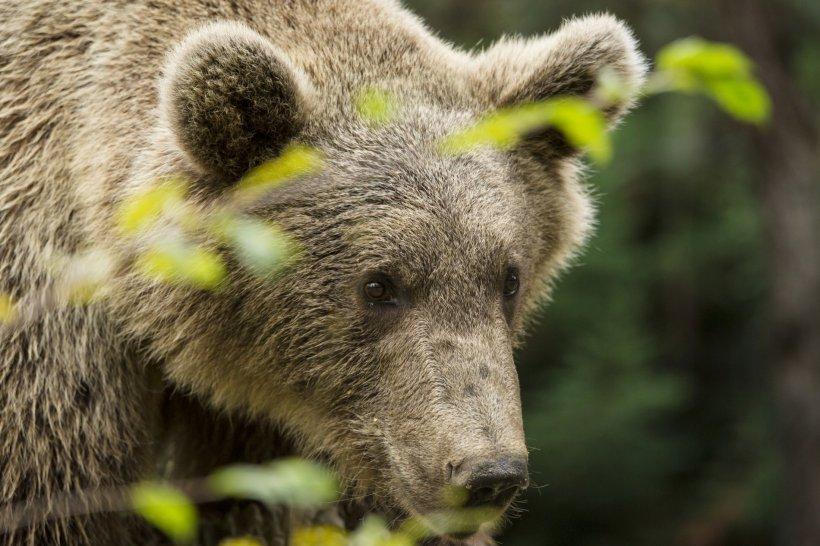 Ministrul Mediului anunță un proiect de lege prin care primăriile vor semna contracte cu asociațiile de vânătoare pentru rezolvarea atacurilor urșilor