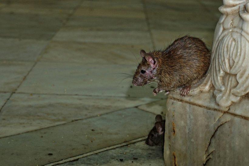O familie din centrul Bucureștiului s-a trezit cu un șobolan uriaș în pat