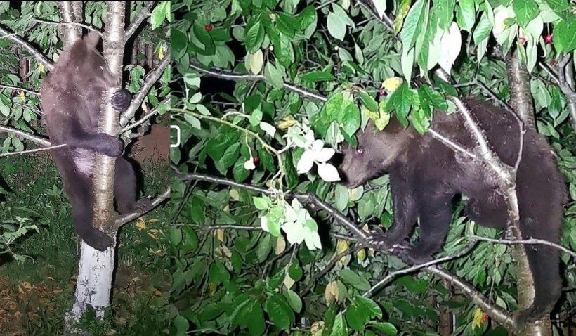 Un urs a stat două ore în cireșul din curtea unei femei din Brașov. Autoritățile au lăsat animalul acolo