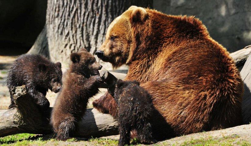 OUG: Urșii agresivi vor putea fi împușcați sau eutanasiați. Comisia Europeană, implicată în problema urșilor din România