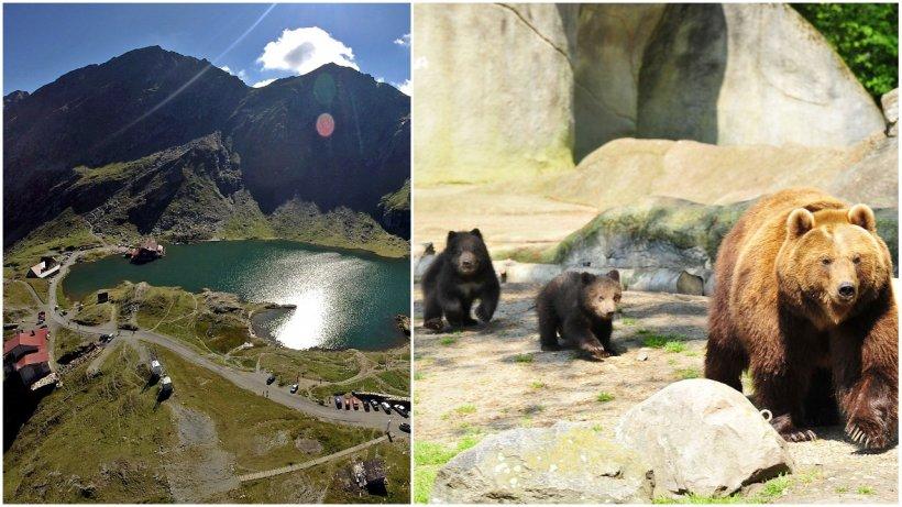Bucureştean care hrănea urşii pe Transfăgărăşan, amendat cu 500 de lei