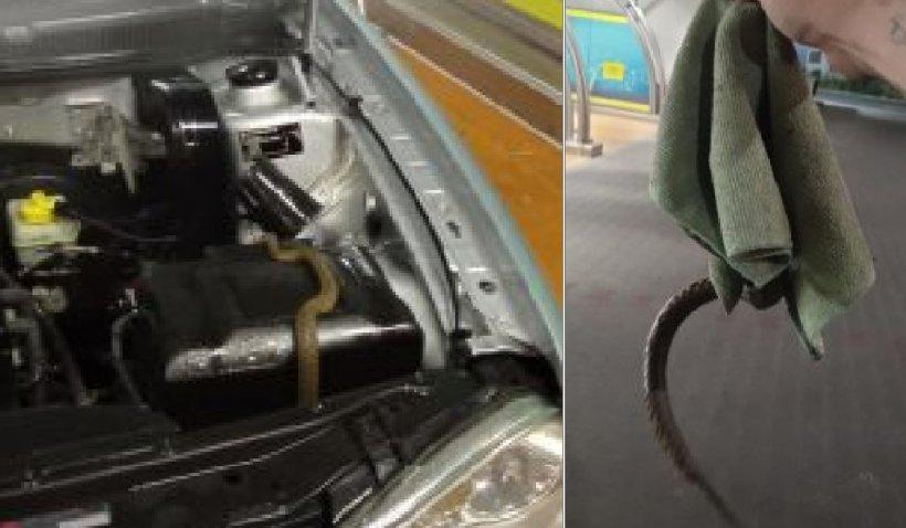 Un bărbat din Baia Mare a sunat la 112 pentru a scăpa de un şarpe ascuns sub capota maşinii sale