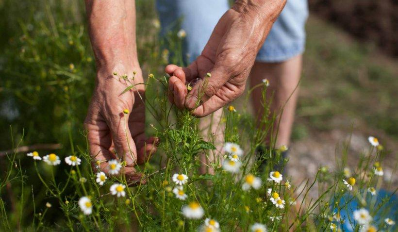 Plante medicinale crescute în Apuseni, vândute pe bani grei în Germania