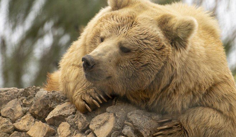 Guvernul a adoptat Ordonanța de Urgență care permite împușcarea urșilor. Primarul sau viceprimarul vor decide cum să fie îndepărtat ursul