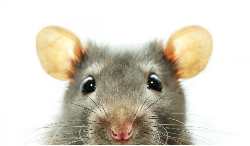 Atacul șobolanilor! O rozătoare a întrerupt o ședință a Parlamenului din Anadaluzia și i-a speriat pe politicieni