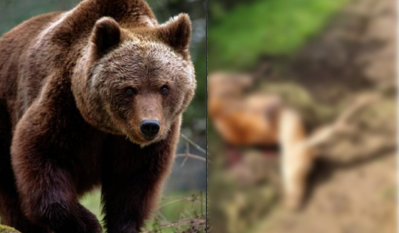 Cerb de 200 de kilograme, ucis de un urs care a pătruns în incinta unui complex de vânătoare. Autorităţile refuză evaluarea pagubelor