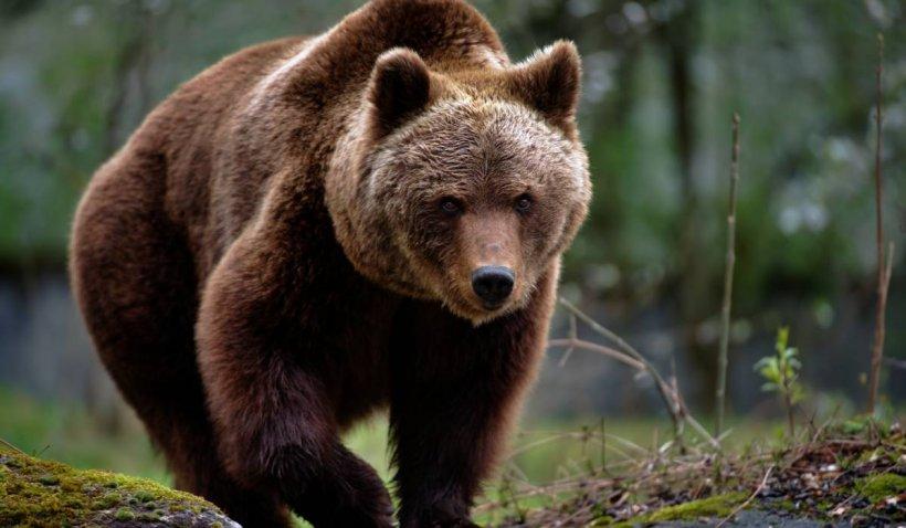 Două persoane au fost atacate de un urs în Suceava. Una a ajuns la spital cu rani grave, iar cealaltă este căutată de salvamontişti în pădure