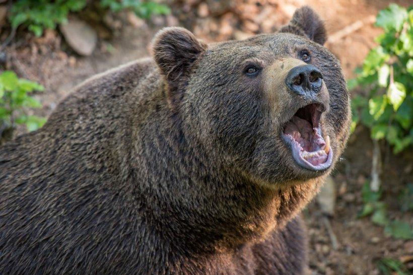 Bărbatul care a supravieţuit atacului ursului, operat timp de şapte ore. Medicii vor să-i redea acestuia chipul