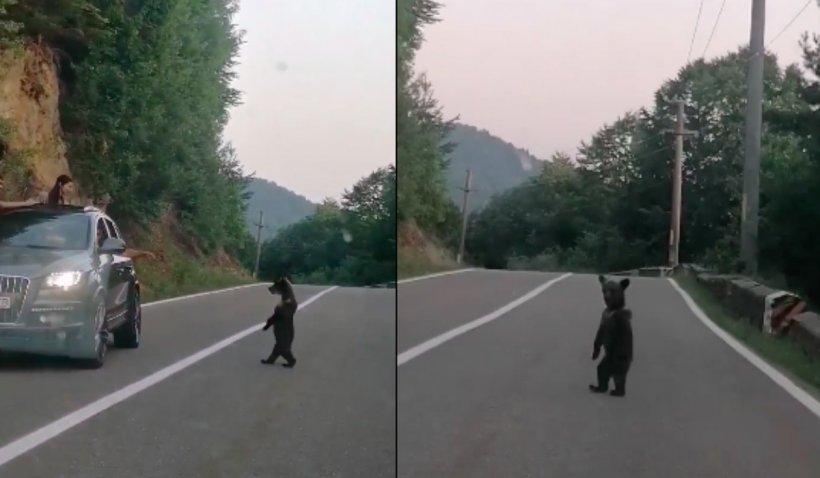 Doi ursuleți înfometați și mama lor, filmați pe un drum din Harghita. Unul dintre ei se ridică pe două picioare și așteaptă mâncare la geamul unei mașini