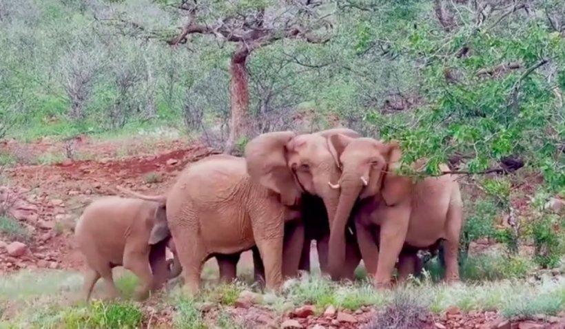 Namibia își vinde elefanții din cauza secetei și a suprapopulării
