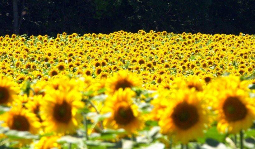 Uleiul este tot mai scump, deși producția de floarea soarelui a fost foarte mare anul acesta. Care este motivul