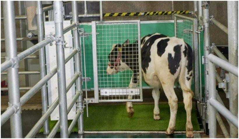 Cercetătorii din Germania au antrenat vacile să folosească toaleta pentru reducerea emisiilor de gaze cu efect de seră