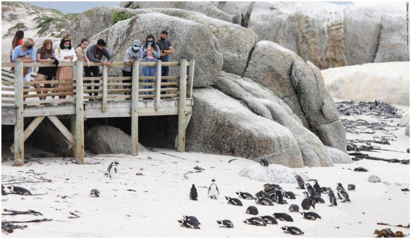 Un roi de albine a ucis 63 de pinguini în Africa de Sud
