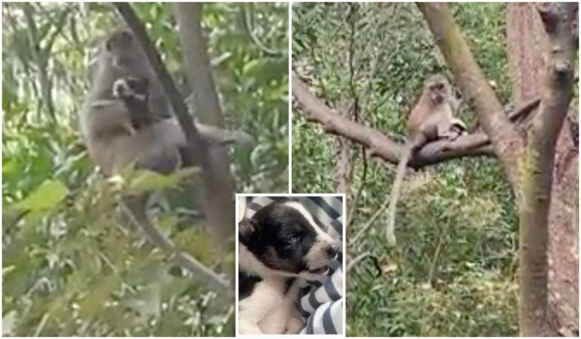 O maimuță din Malaezia a răpit un cățeluș și l-a ținut trei zile ostatic într-un copac