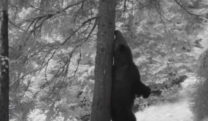 Momente amuzante surprinse într-un parc Național, cu ''Baloo de Carpaţi''. Un urs se scarpină de un copac