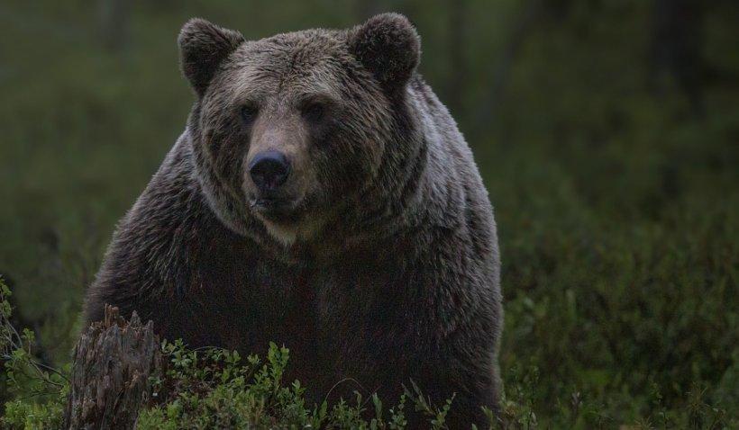 Bărbat atacat de urs la Breaza. Al doilea atac din județul Prahova, în numai 24 de ore