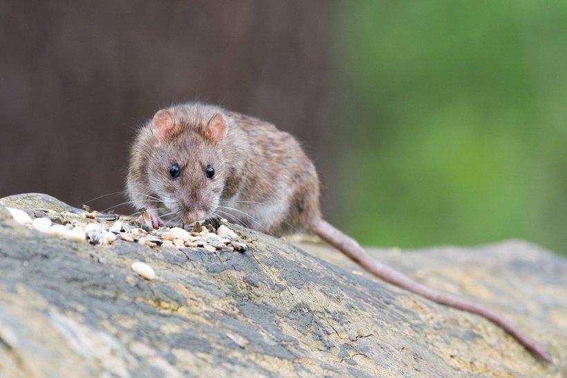 Șobolani filmați în plină zi pe străzile din Sectorul 1