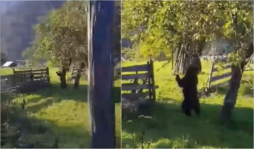 Un urs, surprins când culege mere din pom, într-o livadă din localitatea Borca