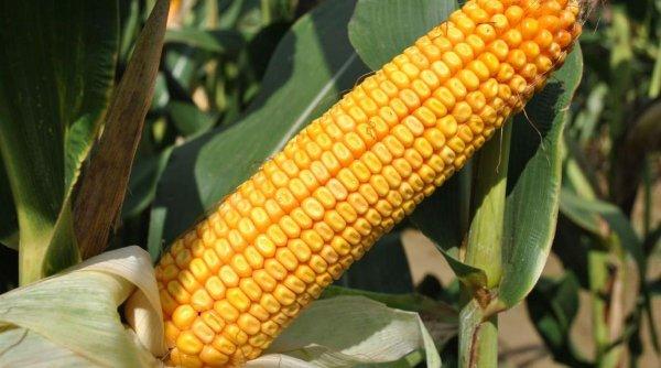 Performanţă în agricultura românească: Producem unul din cei patru hibrizi strategici de porumb la nivel european