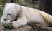 Knut, ursuleţul polar care a înduioşat o lumea întreagă, a murit