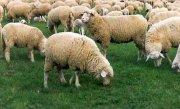 O primarie a cheltuit 300.000 de lei pentru un teren de fotbal pe care pasc oile