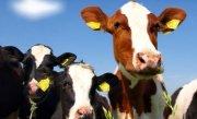 """Guvernul a convocat Comitetul National pentru Situatii de Urgenta, dupa ce zeci de bovine din Buzau s-au �mbolnavit de """"boala limbii albastre"""""""