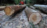Perchezitii �n patru judete la mai multe persoane suspectate ca au acoperit taieri de lemne