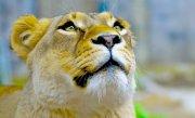 Un baiat de 11 ani a fost ranit de o leoaica la Gradina Zoologica din Radauti