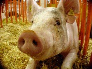 Mii de porci au murit în urma unui incendiu puternic izbucnit la o fermă din Satu-Mare