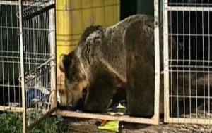 Locuitorii din Băile Tuşnad, terorizaţi de urşi. Oamenii se baricadează în case din cauza animalelor sălbatice