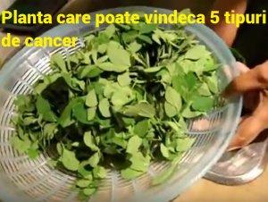Planta care poate vindeca 5 tipuri de cancer