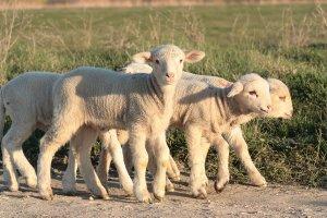 Cât costă carnea de miel cu trei săptămâni înainte de Paște