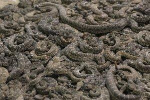 Sute de șerpi au invadat o mănăstire. Ce a urmat este de-a dreptul bizar
