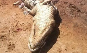 Au vânat un aligator de 4 metri și au văzut că avea o umflătură ciudată în abdomen. S-au hotărât să-i taie burta, să vadă ce are acolo și imediat au început să țipe. E groaznic ce au găsit. Ce era în interior