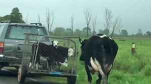 A văzut o vacă pe drum și a scos imediat telefonul să o filmeze! Ce făcea animalul în timp ce o mașină mergea în față - VIDEO impresionant!