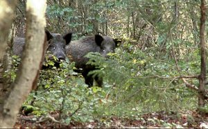 Au împușcat un porc mistreț în pădure. Când i-au făcut disecția, au încremenit. Și-au pus imediat costume de protecție. Ce se afla în interiorul animalului