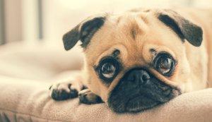 Clipul care a amuzat internetul! Reacția incredibilă a unui cățel Pug când a fost dus la veterinar (VIDEO)