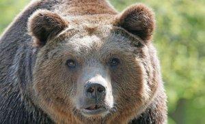 O ursoaică a fost lovită mortal de un autoturism pe DN 1