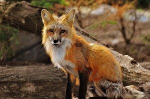 Imagini șocante! Vulpe surprinsă în timp ce se plimba liniștită pe străzile din Capitală