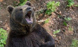"""Răsturnare de situație în cazul ursului lăsat să agonizeze pe șosea. Directorul DSVSA Harghita: """"Avea leziuni interne grave, care ar fi condus în scurt timp la moartea sa"""""""